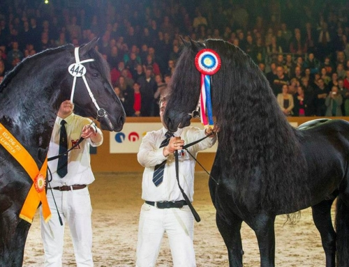 Norbert 444 Overall 2013 KFPS Stallion Show Champion